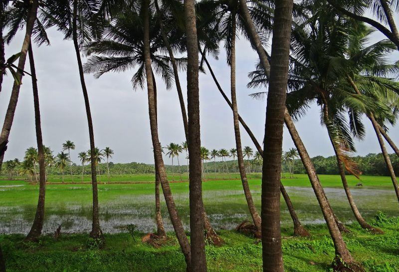 Coconut Groves Pasture Field Goa